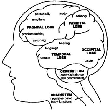 Role of brain in cognitive functions
